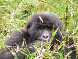 Gorilla Non-Human Organisms - Gorilla (Credit: E. De Merode, NASA ).