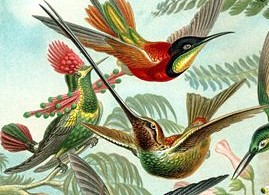 2. Basic Sciences. Fields: Biology. Image: The Trochilidae; The 99th plate illustration from Ernst Haeckel's Kunstformen der Natur (1904), showing a variety of hummingbirds.